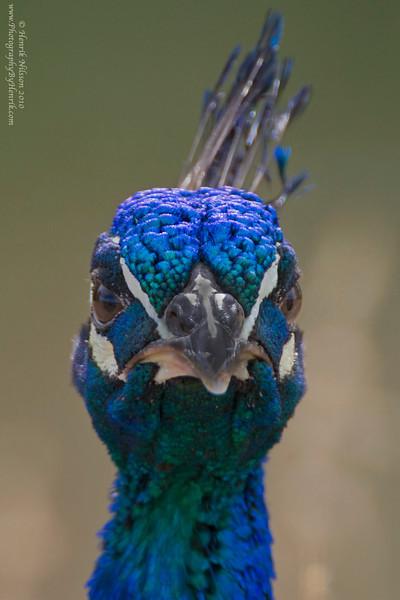 IMAGE: http://www.photographybyhenrik.com/Recent-Work/Recent-Work/i-NTCB7cM/0/L/Peacock-1-L.jpg