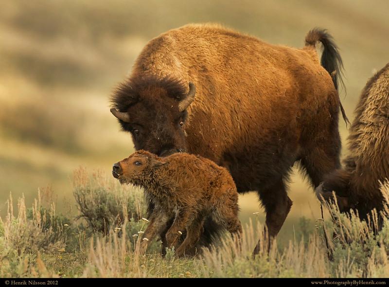 IMAGE: http://www.photographybyhenrik.com/Recent-Work/Recent-Work/i-VXzzmhx/0/L/Bison-3-Yellowstone-2012-L.jpg