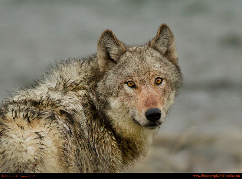 IMAGE: http://www.photographybyhenrik.com/Recent-Work/Recent-Work/i-pGLtfvb/0/L/Wolf-48-Yellowstone-2012-L.jpg