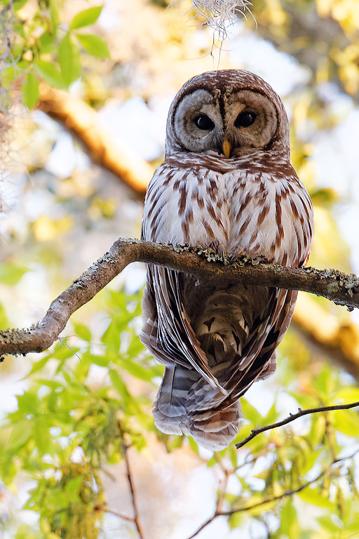 IMAGE: http://www.ianandersonphotography.com/Recent-Work/Recent/i-GM2wTTZ/0/XL/Backyard_Barred_Owl_3-31-2014_4595_ID-XL.jpg