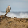 Snowy Owl by Surf