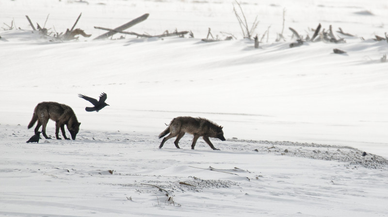 Wolves and Ravens