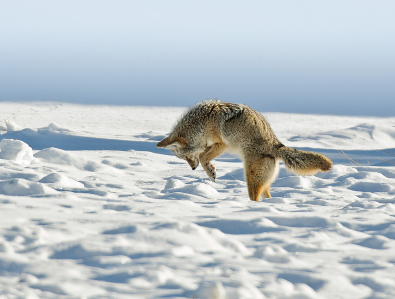 Coyote Hunts