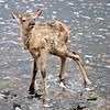 Newborn Elk Fawn