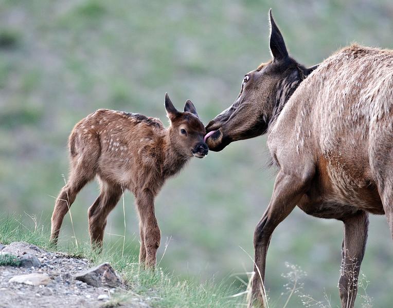 Elk Fawn gets Bath