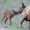 Elk Fawn gets Bath