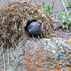 American Dipper at Nest