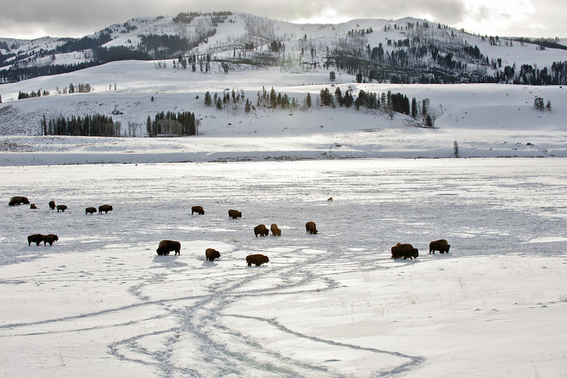 Bison and Coyotes