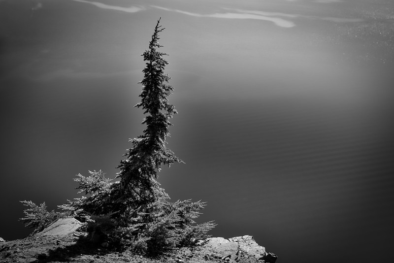 Lone Tree by Crater Lake