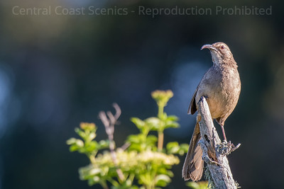 California Thrasher 4