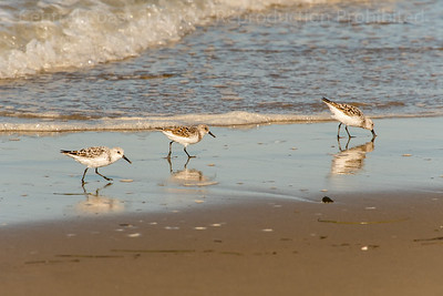 Three Sanderlings