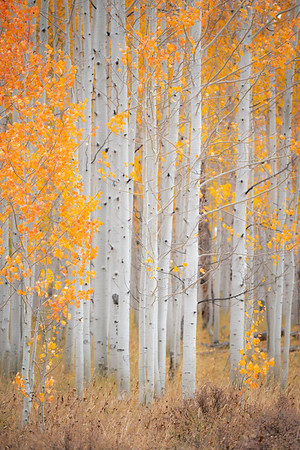 A stand of aspen trees near Steamboat Lakes, CO.  The most vibrant orange I'd ever seen.