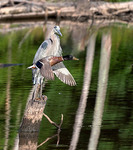Photo bomb duck_DSC0236