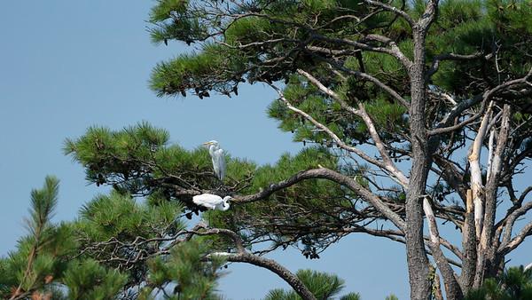 egret tree_DSC9573