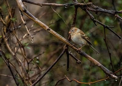 Tiny House Sparrow