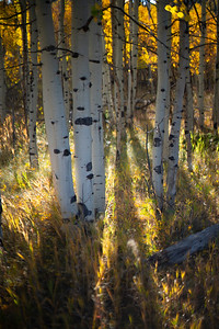 Last light of the day shines through an aspen stand in the Tarryall Valley on this first week of October.