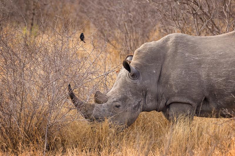 Watching he Rhino