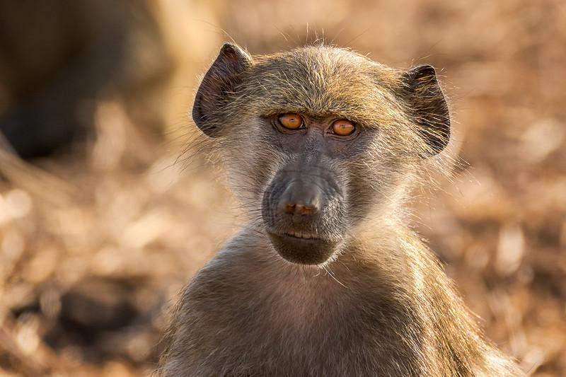 Teenage Baboon