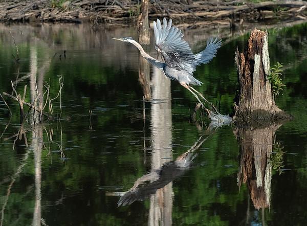Heron taking flight_DSC0125