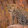 The Leopard Waits