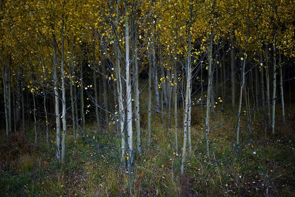 Fall colors of Breckenridge, CO.  McCullough Gulch Trail.
