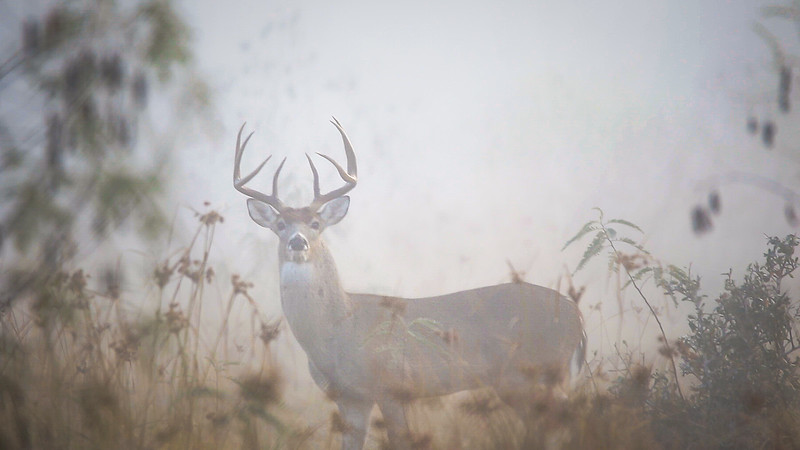 White-tailed Buck in the Fog