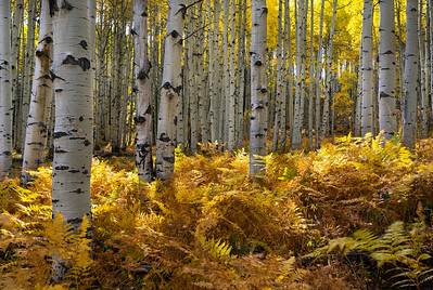 Late afternoon sunlight finds its way through the trees.  Kebler Pass, Crested Butte.