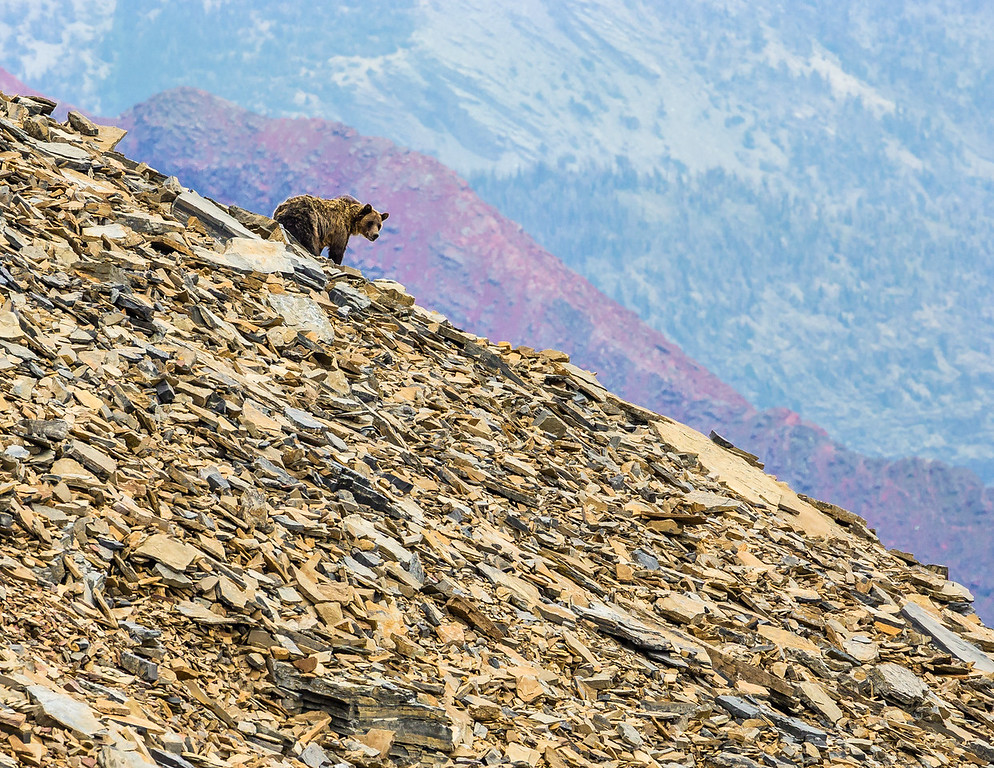 Grizzly on Mt Siyeh
