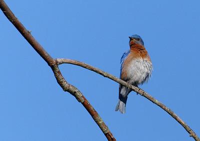 blue bird branch_DSC0048