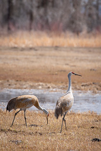 Two Sandhill Cranes stop over in Monte Vista Colorado on their annual migration through the San Luis Valley.