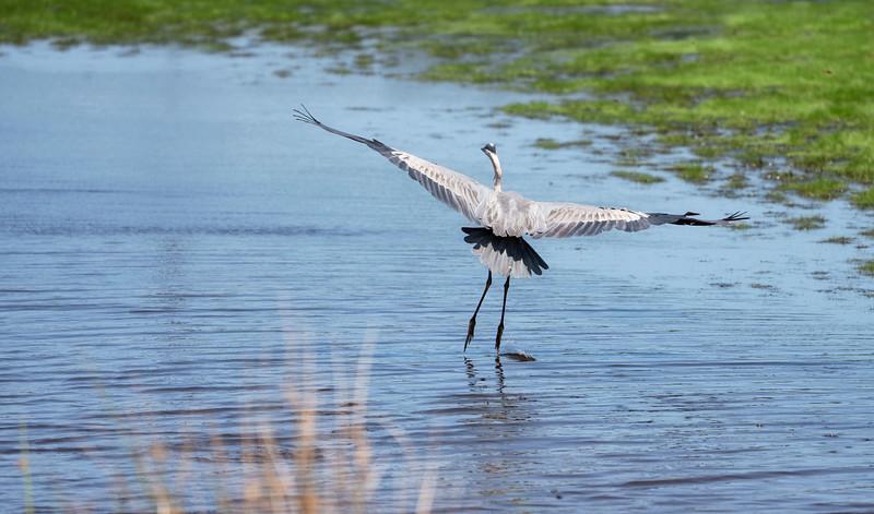 Dancing heron_DSC9707