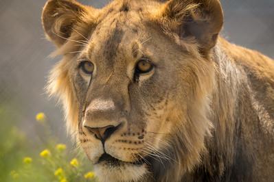 Lion - captive