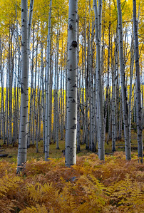 Nearly perfect aspens and ferns.  Thanks, Nature!  Crested Butte, CO