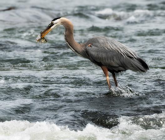 heron and fish_DSC7377
