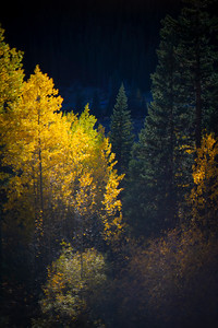 Last light of the day shines upon a stand of aspens off Guenella Pass.  I used an adapted 40+ year-old Canon 50mm lens for this one.  The lens was my Dad's.