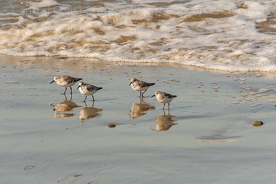 Four Sanderlings