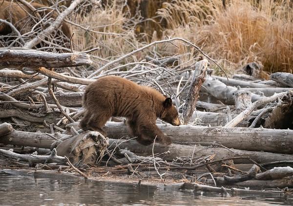 Bear Cub 3
