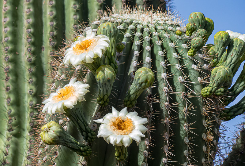 Saguaro in Bloom