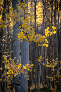 Light shines upon a healthy stand of aspen off Boreas Pass Road.  Como, CO.