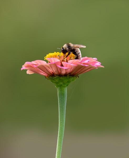Bee flower_DSC0622