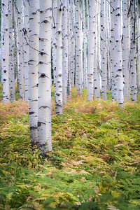 Mid September off Kebler Pass in Crested Butte, CO.  A beautiful fern forest amidst perfect aspen trees.