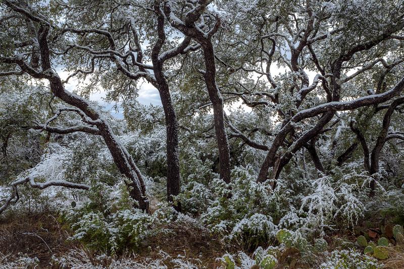 Snowy Live Oaks & Cedars