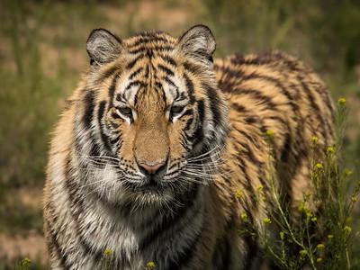 Tiger - captive