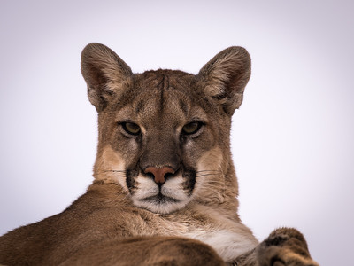 Mountain Lion - captive