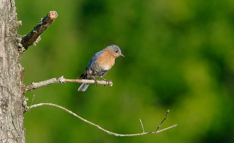 blue bird tree_DSC0059