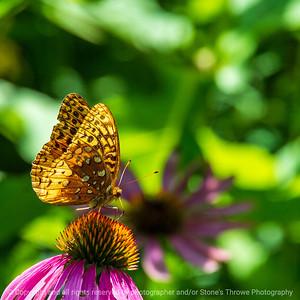 015-butterfly-wdsm-07aug20-03x03-006-400-7502