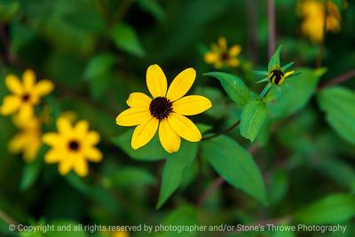 015-flower_brown_eyed_susan-wdsm-07aug21-12x08-008-400-4056