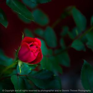 015-flower_rose-ankeny-03jun20-09x09-206-400-6866