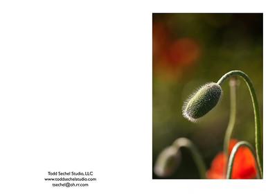 "05102012_7861 - ""Poppies"" - Schoepfle Garden - Birmingham, Ohio"