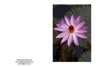 4202011_3447 Lotus flower - Bali, Indonesia